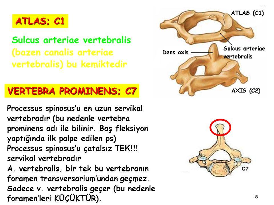 5 Sulcus arteriae vertebralis (bazen canalis arteriae vertebralis) bu kemiktedir ATLAS; C1 Processus spinosus'u en uzun servikal vertebradır (bu nedenle vertebra prominens adı ile bilinir.