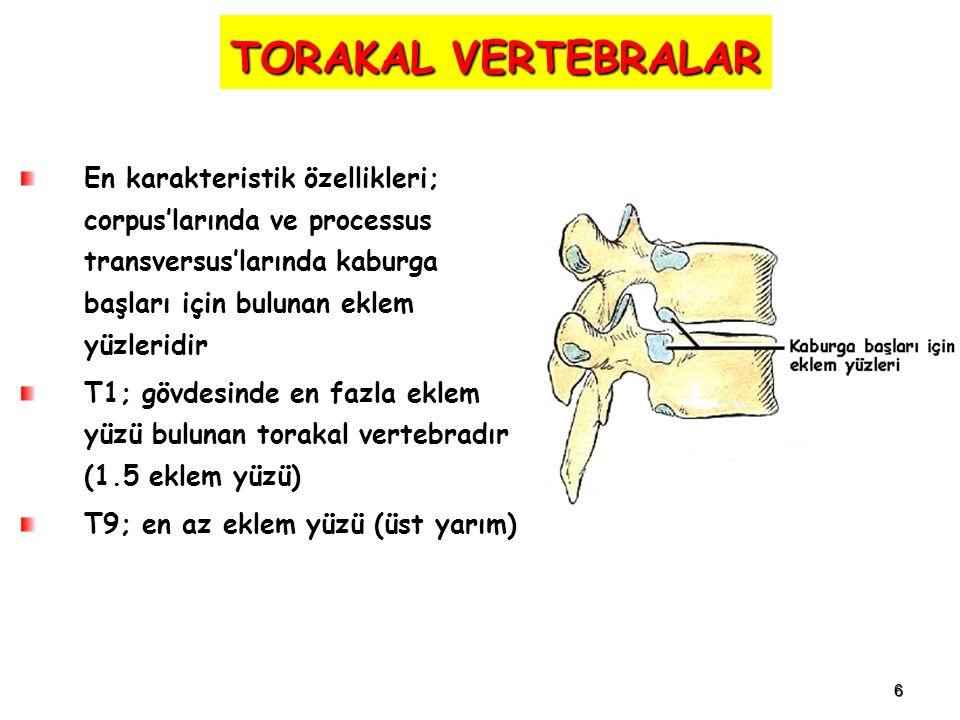 6 TORAKAL VERTEBRALAR En karakteristik özellikleri; corpus'larında ve processus transversus'larında kaburga başları için bulunan eklem yüzleridir T1; gövdesinde en fazla eklem yüzü bulunan torakal vertebradır (1.5 eklem yüzü) T9; en az eklem yüzü (üst yarım)