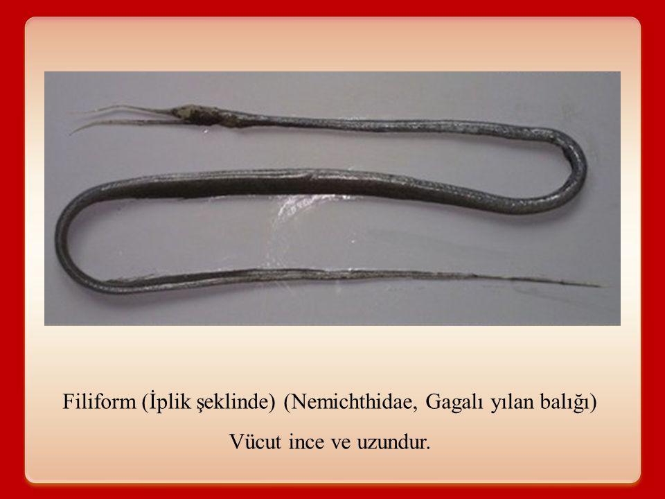 Filiform (İplik şeklinde) (Nemichthidae, Gagalı yılan balığı) Vücut ince ve uzundur.