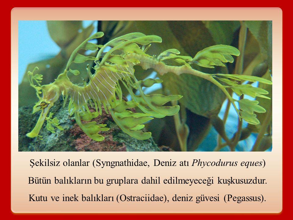 Şekilsiz olanlar (Syngnathidae, Deniz atı Phycodurus eques) Bütün balıkların bu gruplara dahil edilmeyeceği kuşkusuzdur. Kutu ve inek balıkları (Ostra