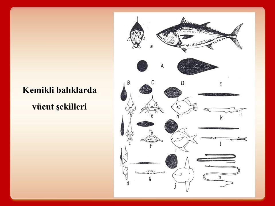 Kemikli balıklarda vücut şekilleri