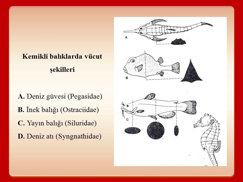 Kemikli balıklarda vücut şekilleri A. Deniz güvesi (Pegasidae) B. İnek balığı (Ostraciidae) C. Yayın balığı (Siluridae) D. Deniz atı (Syngnathidae)