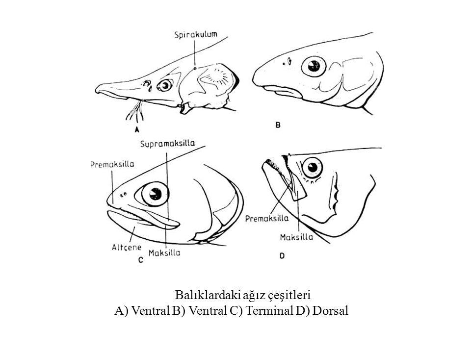 Balıklardaki ağız çeşitleri A) Ventral B) Ventral C) Terminal D) Dorsal