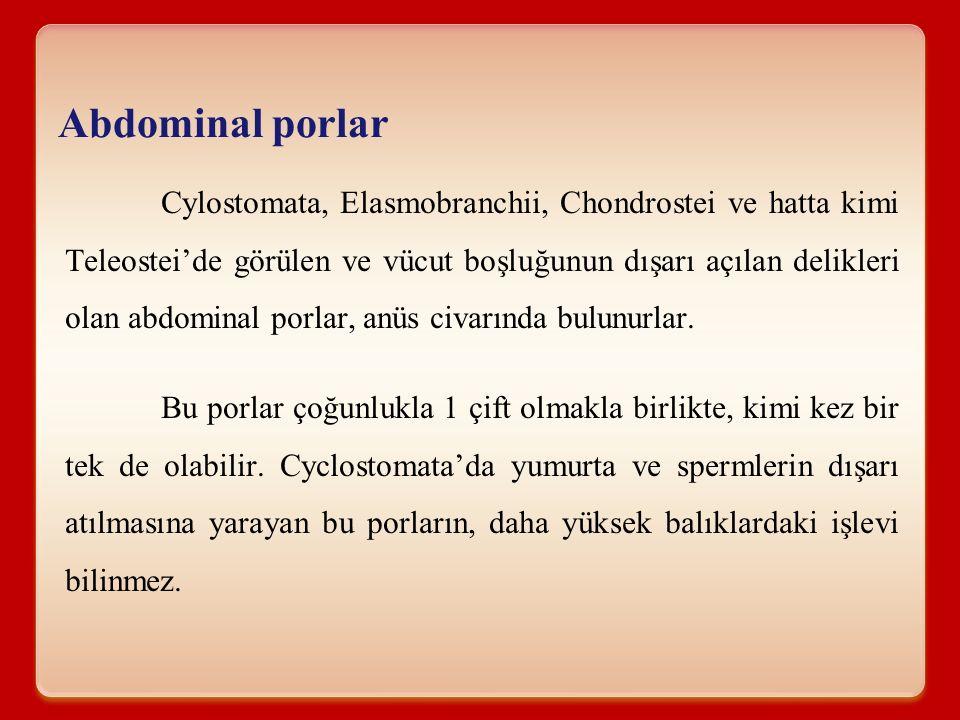 Abdominal porlar Cylostomata, Elasmobranchii, Chondrostei ve hatta kimi Teleostei'de görülen ve vücut boşluğunun dışarı açılan delikleri olan abdomina