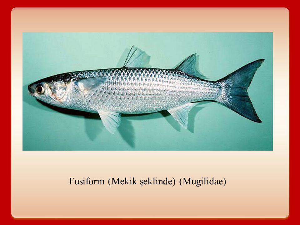Fusiform (Mekik şeklinde) (Mugilidae)