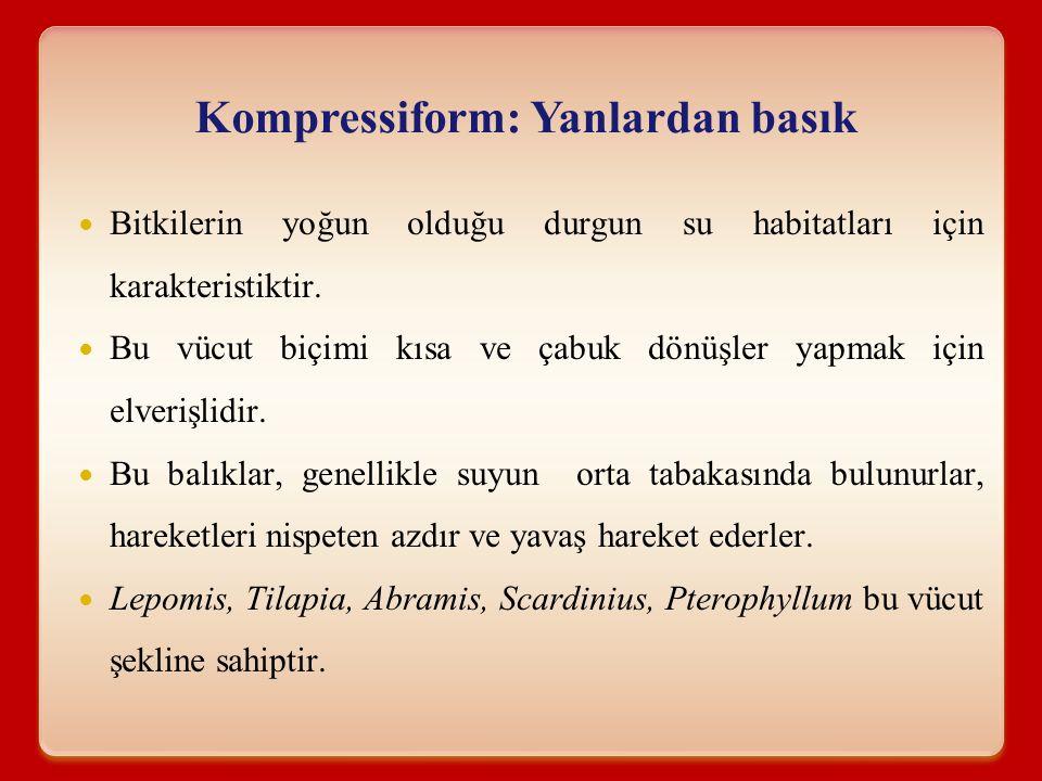 Kompressiform: Yanlardan basık Bitkilerin yoğun olduğu durgun su habitatları için karakteristiktir. Bu vücut biçimi kısa ve çabuk dönüşler yapmak için