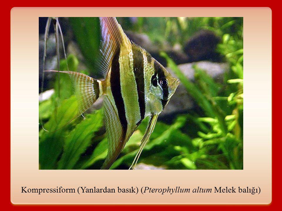 Depressiform: Üstten basık Genel olarak hava kesesi bulunmayan balıklarda görülür ve bu balıklar dipte yaşarlar.