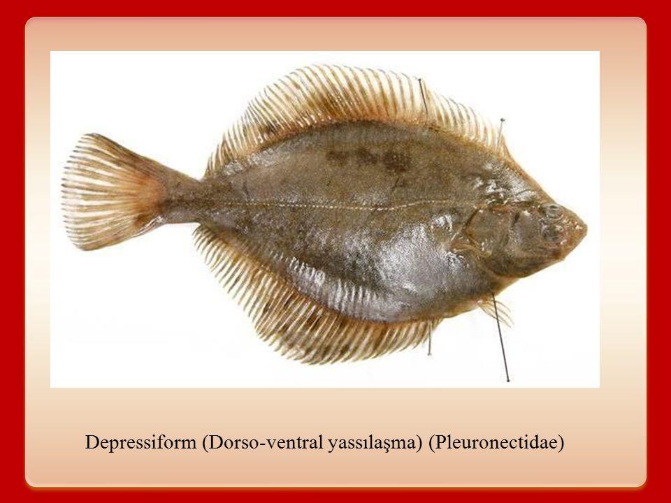 Kemikli balıklarda vücut şekilleri A.Deniz güvesi (Pegasidae) B.