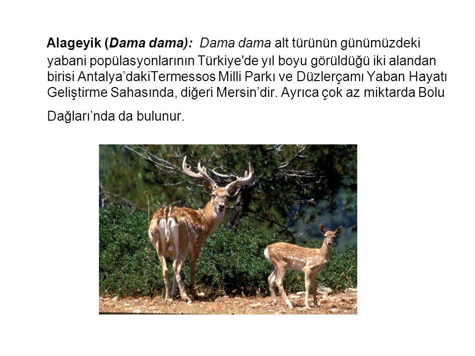 Alageyik (Dama dama): Dama dama alt türünün günümüzdeki yabani popülasyonlarının Türkiye'de yıl boyu görüldüğü iki alandan birisi Antalya'dakiTermesso