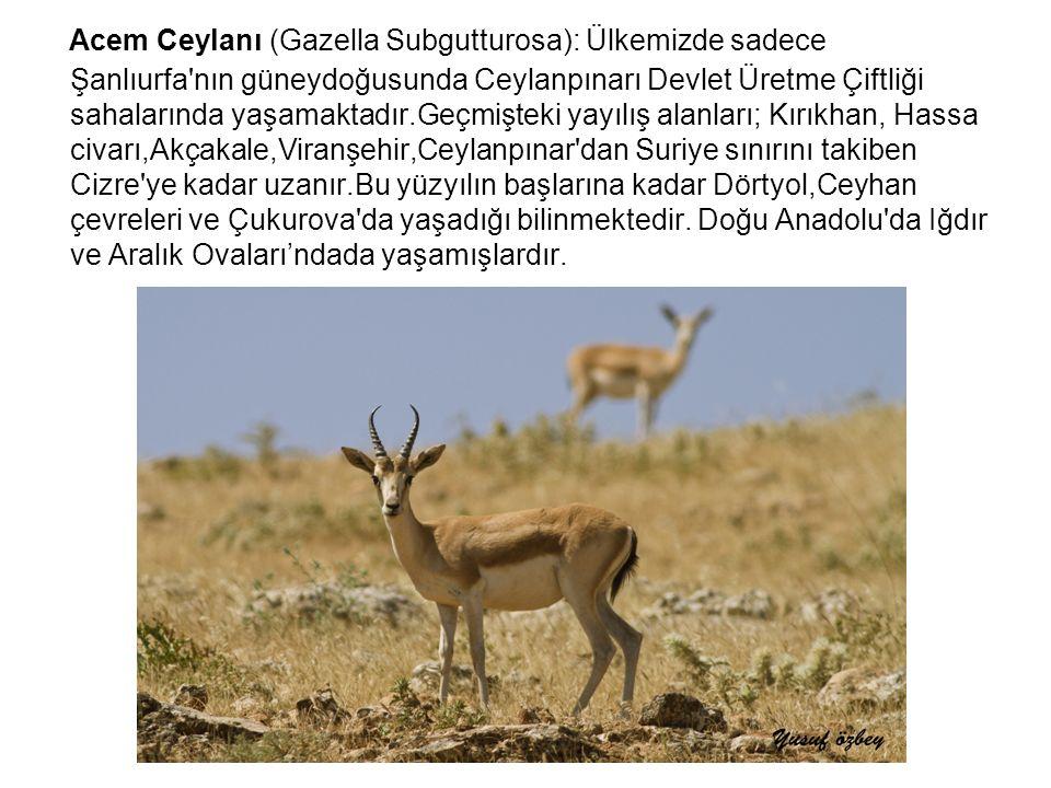 Acem Ceylanı (Gazella Subgutturosa): Ülkemizde sadece Şanlıurfa'nın güneydoğusunda Ceylanpınarı Devlet Üretme Çiftliği sahalarında yaşamaktadır.Geçmiş