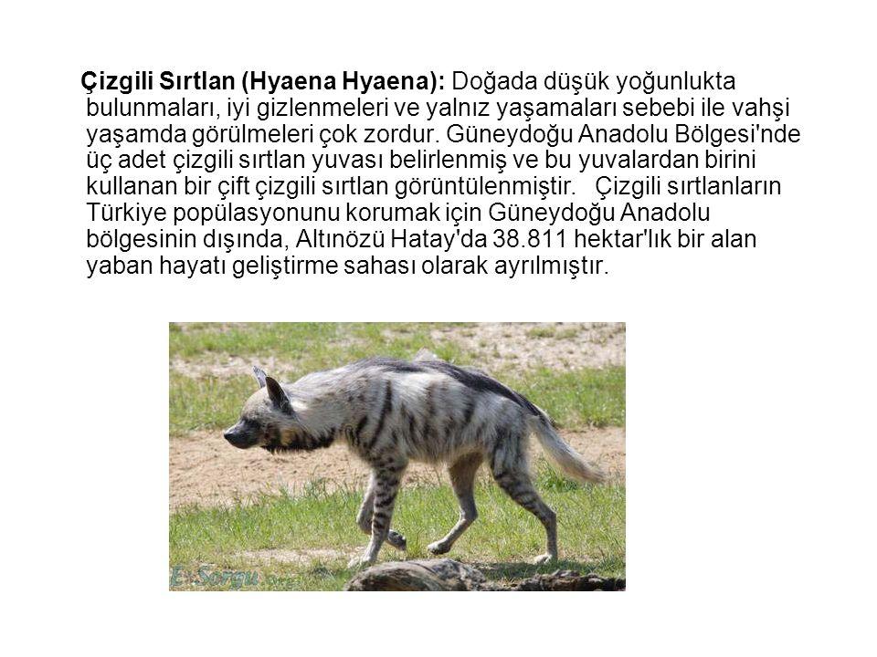 Çizgili Sırtlan (Hyaena Hyaena): Doğada düşük yoğunlukta bulunmaları, iyi gizlenmeleri ve yalnız yaşamaları sebebi ile vahşi yaşamda görülmeleri çok z