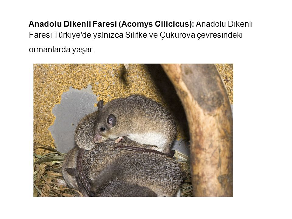Anadolu Dikenli Faresi (Acomys Cilicicus): Anadolu Dikenli Faresi Türkiye'de yalnızca Silifke ve Çukurova çevresindeki ormanlarda yaşar.