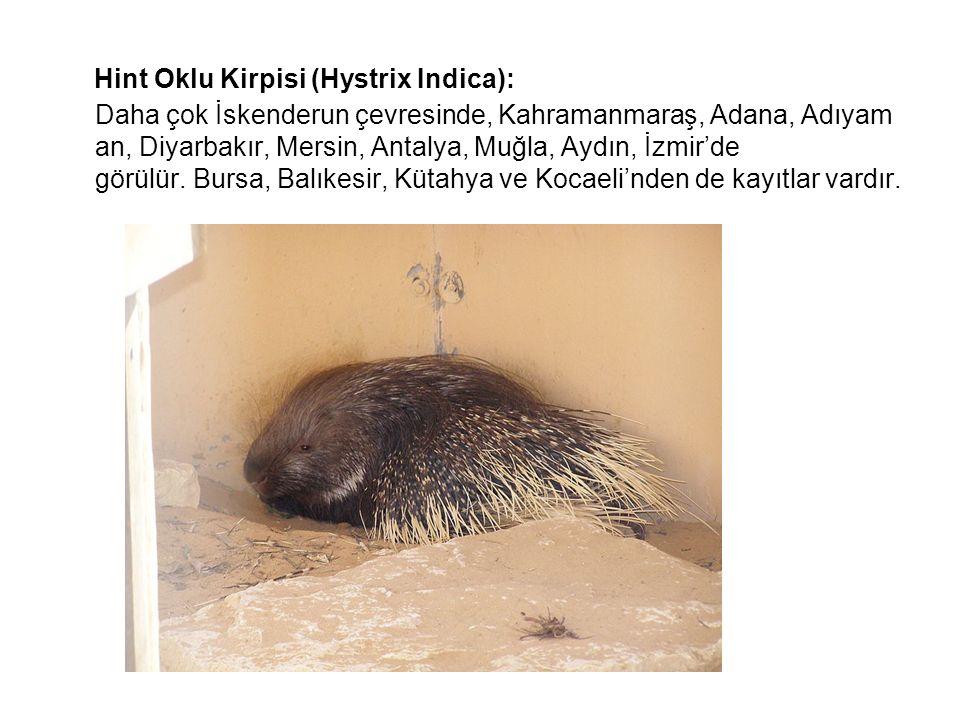 Hint Oklu Kirpisi (Hystrix Indica): Daha çok İskenderun çevresinde, Kahramanmaraş, Adana, Adıyam an, Diyarbakır, Mersin, Antalya, Muğla, Aydın, İzmir'