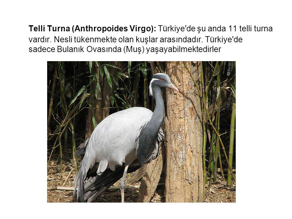 Telli Turna (Anthropoides Virgo): Türkiye'de şu anda 11 telli turna vardır. Nesli tükenmekte olan kuşlar arasındadır. Türkiye'de sadece Bulanık Ovasın