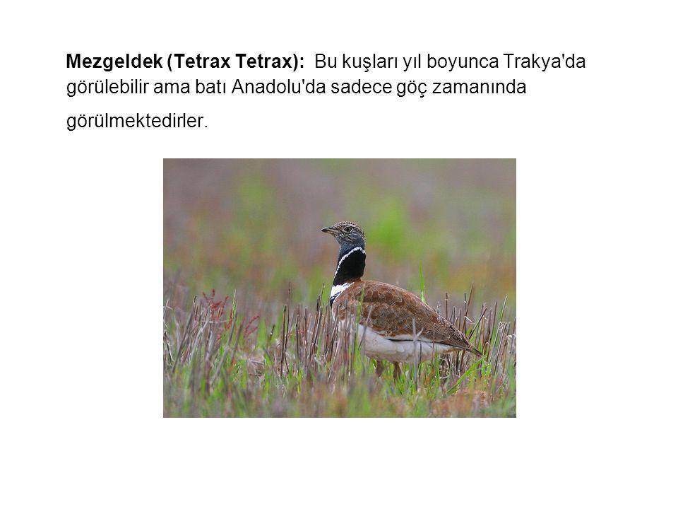 Mezgeldek (Tetrax Tetrax): Bu kuşları yıl boyunca Trakya'da görülebilir ama batı Anadolu'da sadece göç zamanında görülmektedirler.