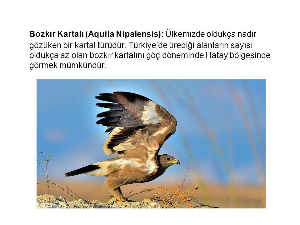 Bozkır Kartalı (Aquila Nipalensis): Ülkemizde oldukça nadir gözüken bir kartal türüdür. Türkiye'de ürediği alanların sayısı oldukça az olan bozkır kar