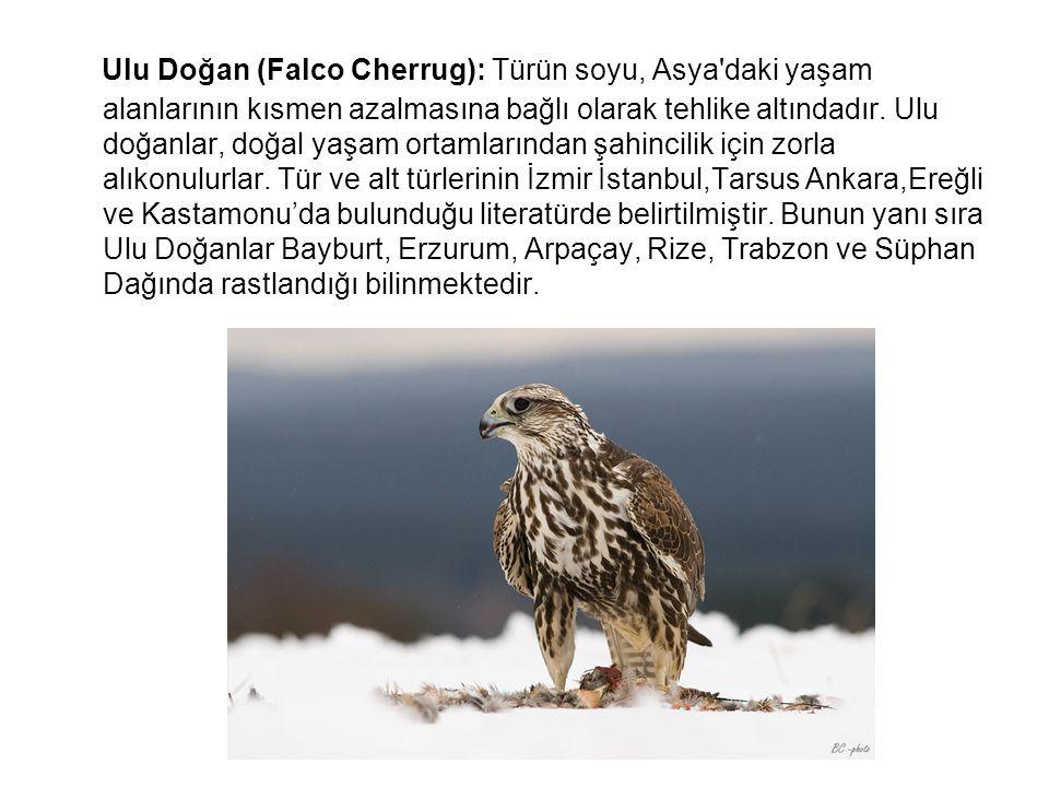 Ulu Doğan (Falco Cherrug): Türün soyu, Asya'daki yaşam alanlarının kısmen azalmasına bağlı olarak tehlike altındadır. Ulu doğanlar, doğal yaşam ortaml