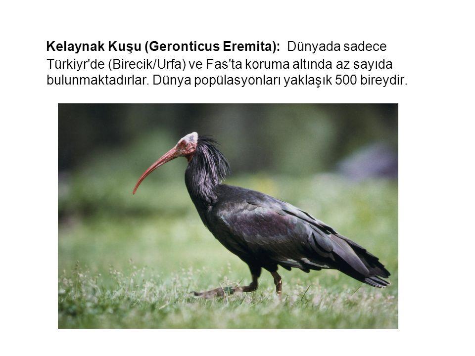 Kelaynak Kuşu (Geronticus Eremita): Dünyada sadece Türkiyr'de (Birecik/Urfa) ve Fas'ta koruma altında az sayıda bulunmaktadırlar. Dünya popülasyonları