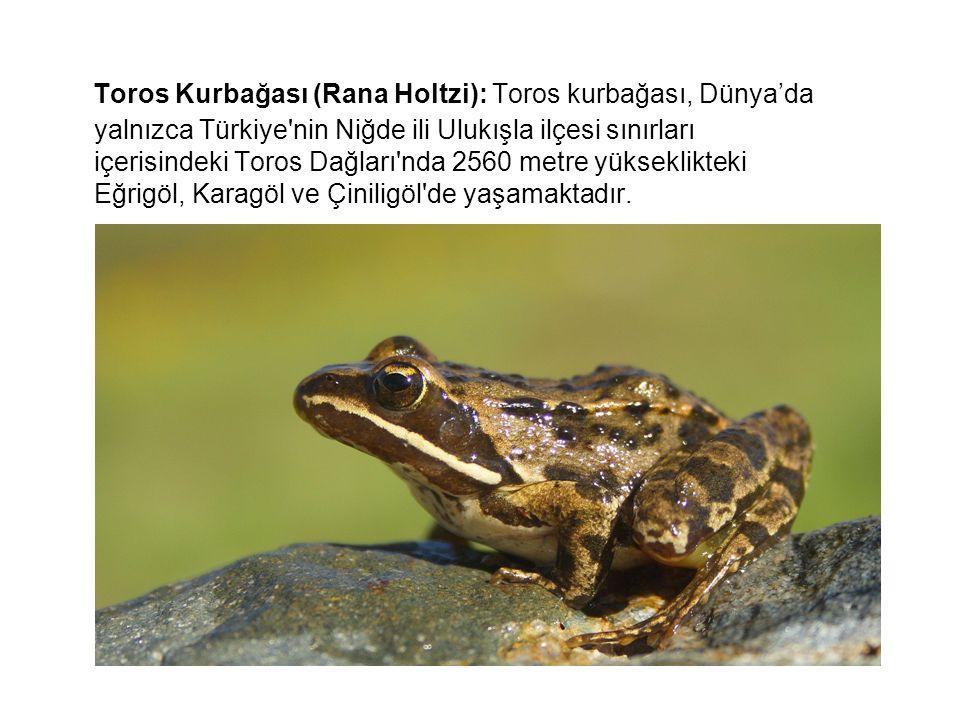 Toros Kurbağası (Rana Holtzi): Toros kurbağası, Dünya'da yalnızca Türkiye'nin Niğde ili Ulukışla ilçesi sınırları içerisindeki Toros Dağları'nda 2560