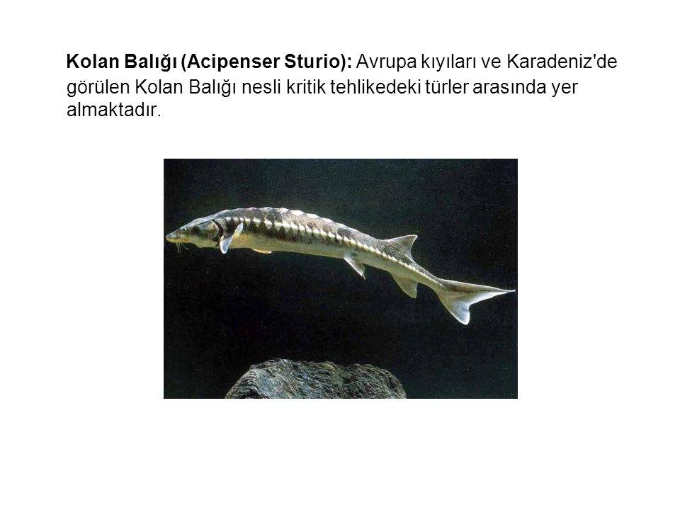 Kolan Balığı (Acipenser Sturio): Avrupa kıyıları ve Karadeniz'de görülen Kolan Balığı nesli kritik tehlikedeki türler arasında yer almaktadır.