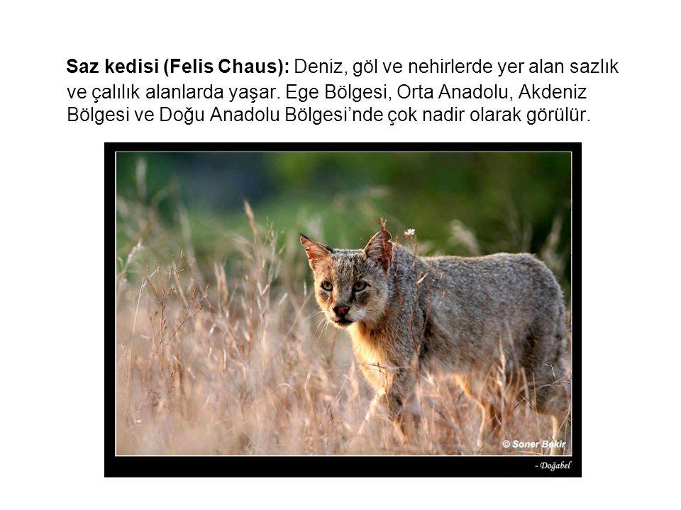 Saz kedisi (Felis Chaus): Deniz, göl ve nehirlerde yer alan sazlık ve çalılık alanlarda yaşar. Ege Bölgesi, Orta Anadolu, Akdeniz Bölgesi ve Doğu Anad