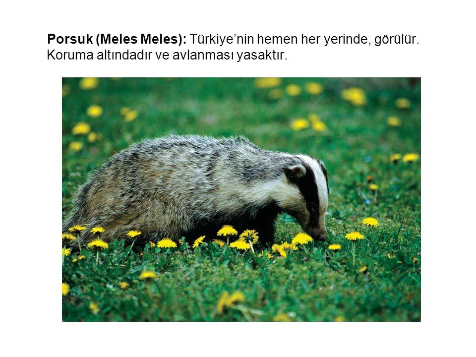 Porsuk (Meles Meles): Türkiye'nin hemen her yerinde, görülür. Koruma altındadır ve avlanması yasaktır.
