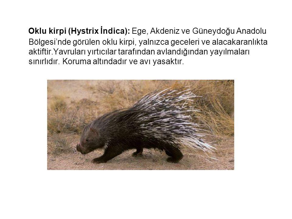 Oklu kirpi (Hystrix İndica): Ege, Akdeniz ve Güneydoğu Anadolu Bölgesi'nde görülen oklu kirpi, yalnızca geceleri ve alacakaranlıkta aktiftir.Yavruları