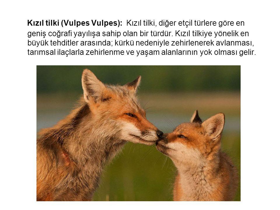 Kızıl tilki (Vulpes Vulpes): Kızıl tilki, diğer etçil türlere göre en geniş coğrafi yayılışa sahip olan bir türdür. Kızıl tilkiye yönelik en büyük teh