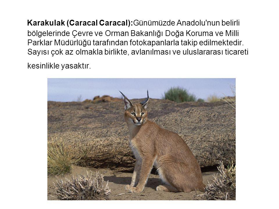 Karakulak (Caracal Caracal):Günümüzde Anadolu'nun belirli bölgelerinde Çevre ve Orman Bakanlığı Doğa Koruma ve Milli Parklar Müdürlüğü tarafından foto