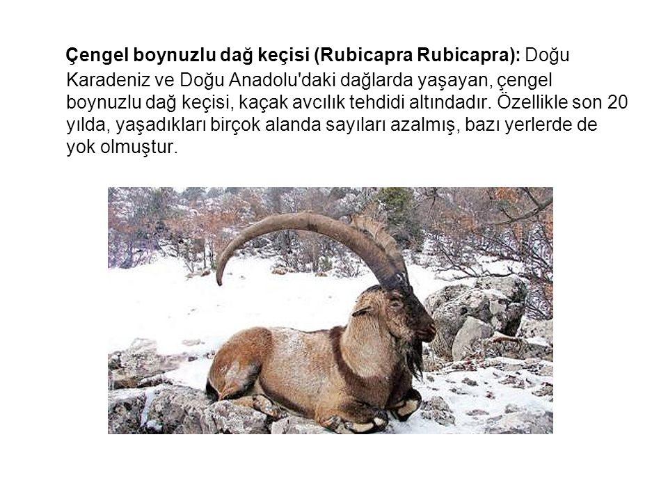 Çengel boynuzlu dağ keçisi (Rubicapra Rubicapra): Doğu Karadeniz ve Doğu Anadolu'daki dağlarda yaşayan, çengel boynuzlu dağ keçisi, kaçak avcılık tehd