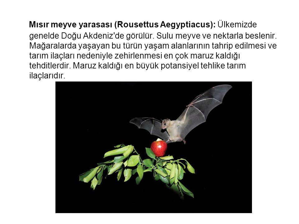 Mısır meyve yarasası (Rousettus Aegyptiacus): Ülkemizde genelde Doğu Akdeniz'de görülür. Sulu meyve ve nektarla beslenir. Mağaralarda yaşayan bu türün