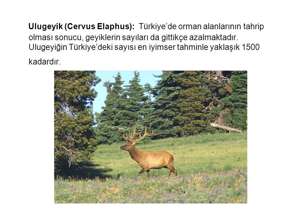 Ulugeyik (Cervus Elaphus): Türkiye'de orman alanlarının tahrip olması sonucu, geyiklerin sayıları da gittikçe azalmaktadır. Ulugeyiğin Türkiye'deki sa