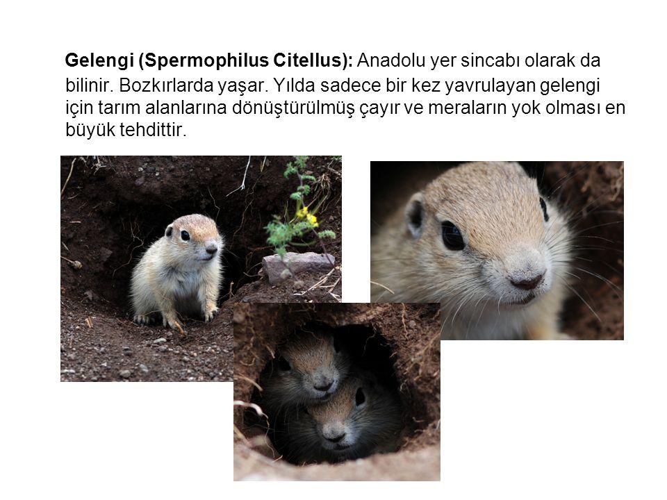 Gelengi (Spermophilus Citellus): Anadolu yer sincabı olarak da bilinir. Bozkırlarda yaşar. Yılda sadece bir kez yavrulayan gelengi için tarım alanları