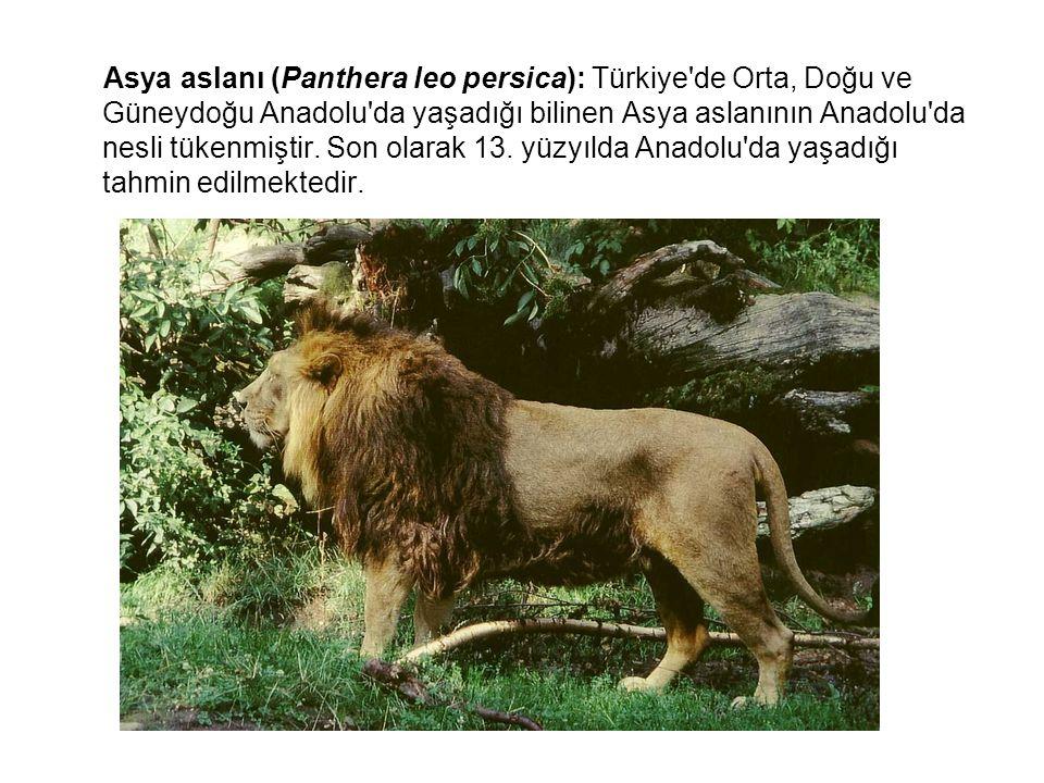Asya aslanı (Panthera leo persica): Türkiye'de Orta, Doğu ve Güneydoğu Anadolu'da yaşadığı bilinen Asya aslanının Anadolu'da nesli tükenmiştir. Son ol
