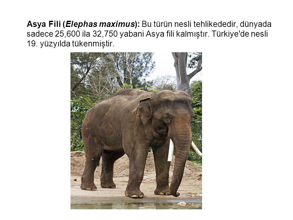 Asya Fili (Elephas maximus): Bu türün nesli tehlikededir, dünyada sadece 25,600 ila 32,750 yabani Asya fili kalmıştır. Türkiye'de nesli 19. yüzyılda t