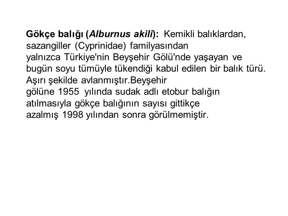 Gökçe balığı (Alburnus akili): Kemikli balıklardan, sazangiller (Cyprinidae) familyasından yalnızca Türkiye'nin Beyşehir Gölü'nde yaşayan ve bugün soy