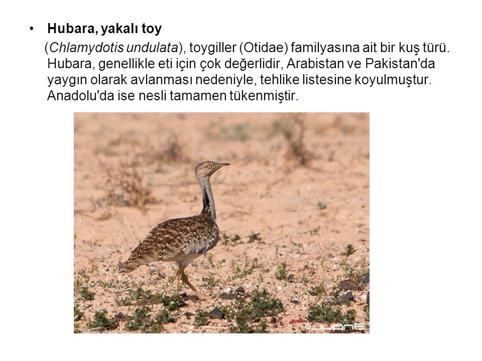 Hubara, yakalı toy (Chlamydotis undulata), toygiller (Otidae) familyasına ait bir kuş türü. Hubara, genellikle eti için çok değerlidir, Arabistan ve P