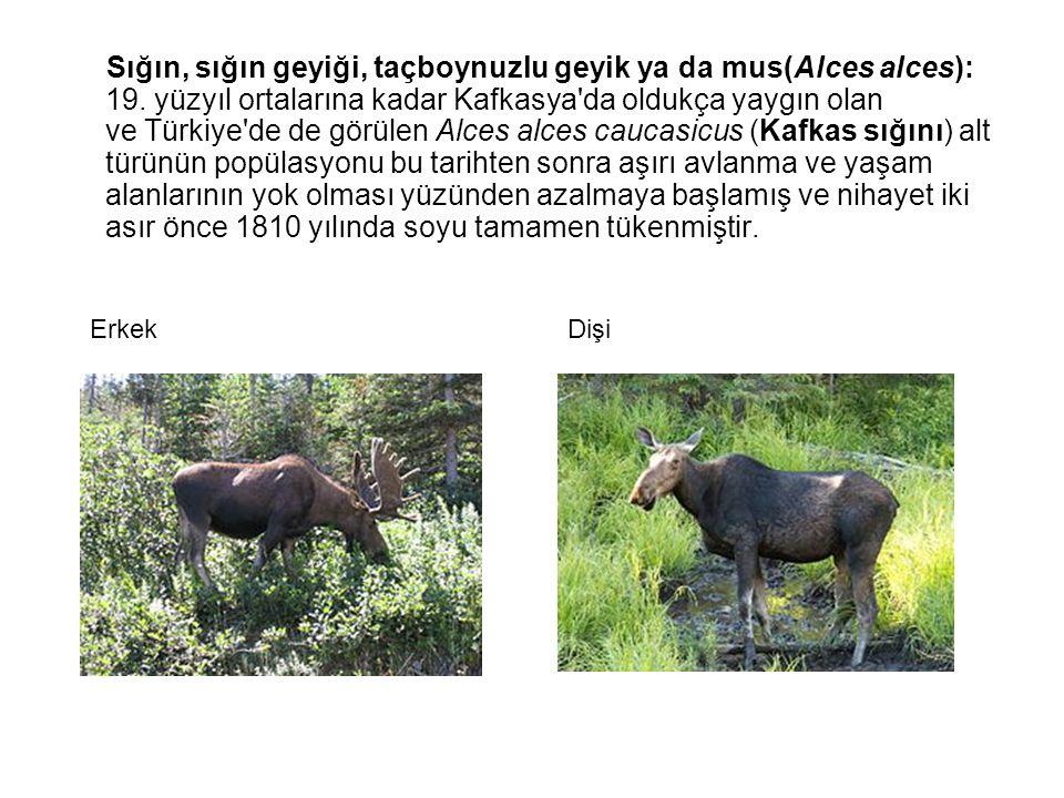 Sığın, sığın geyiği, taçboynuzlu geyik ya da mus(Alces alces): 19. yüzyıl ortalarına kadar Kafkasya'da oldukça yaygın olan ve Türkiye'de de görülen Al