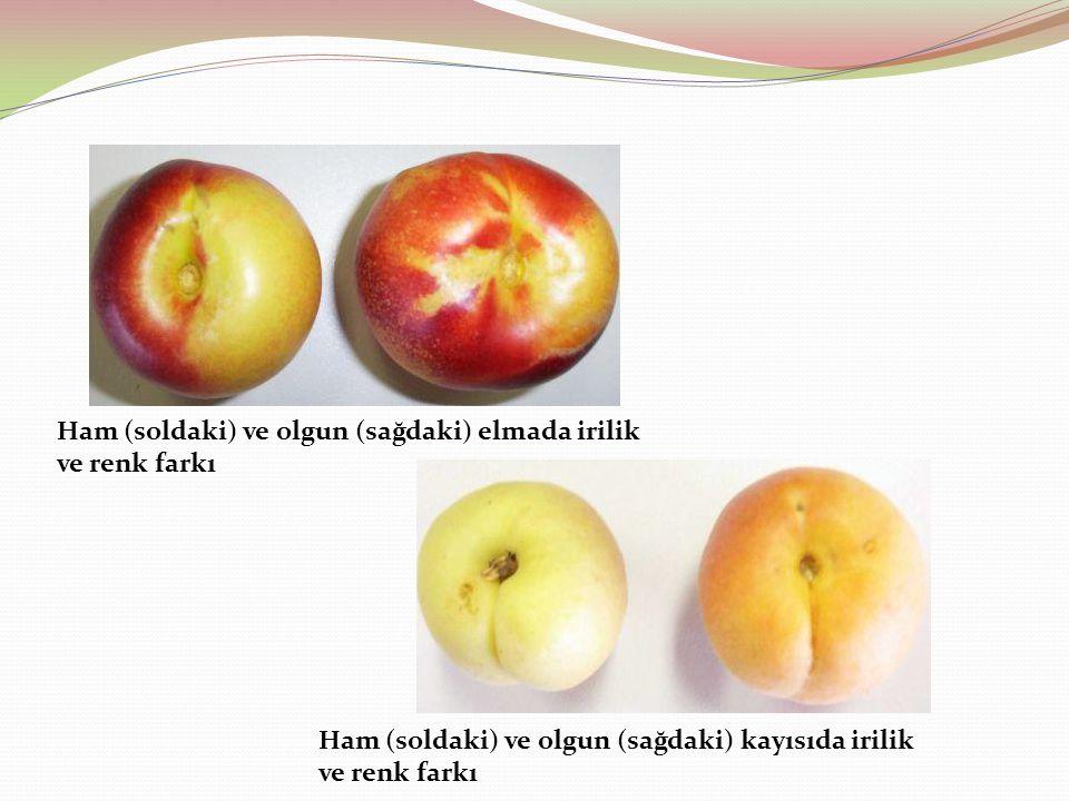 Ham (soldaki) ve olgun (sağdaki) elmada irilik ve renk farkı Ham (soldaki) ve olgun (sağdaki) kayısıda irilik ve renk farkı