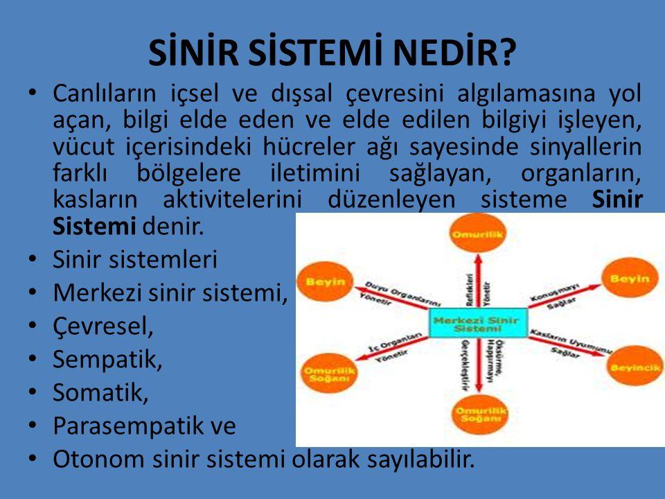 Merkezi Sinir Sistemi Organları Merkezi sinir sisteminin en önemli organı beyindir.