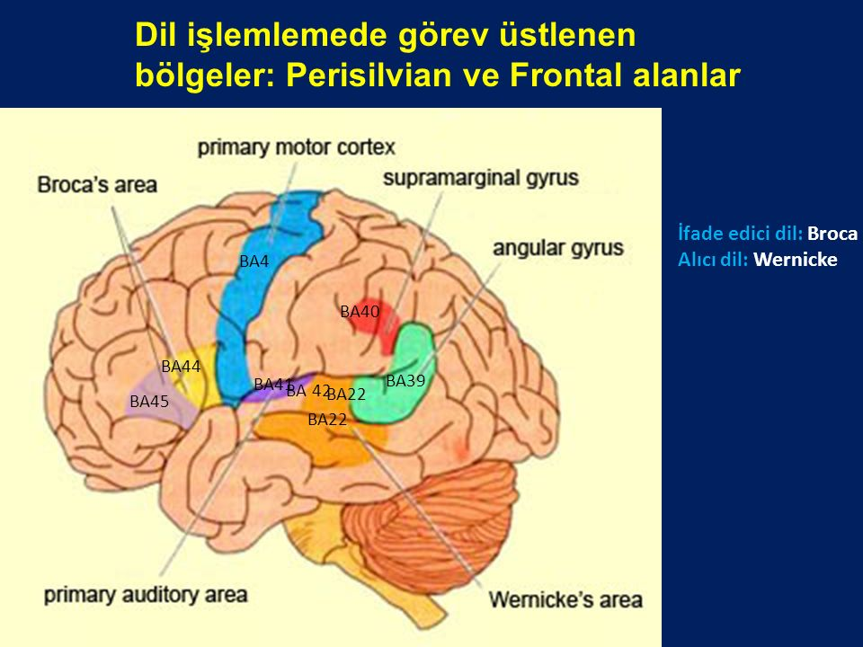 Dil işlemlemede görev üstlenen bölgeler: Perisilvian ve Frontal alanlar BA45 BA44 BA39 BA40 BA41 BA4 BA22 BA 42 BA22 İfade edici dil: Broca Alıcı dil: