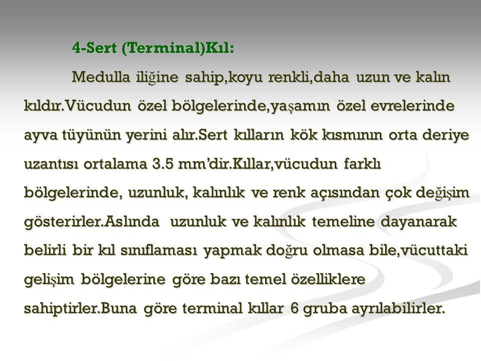 4-Sert (Terminal)Kıl: Medulla ili ğ ine sahip,koyu renkli,daha uzun ve kalın kıldır.Vücudun özel bölgelerinde,ya ş amın özel evrelerinde ayva tüyünün