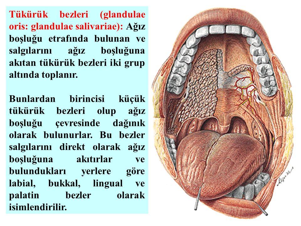 Tükürük bezleri (glandulae oris: glandulae salivariae): Ağız boşluğu etrafında bulunan ve salgılarını ağız boşluğuna akıtan tükürük bezleri iki grup a