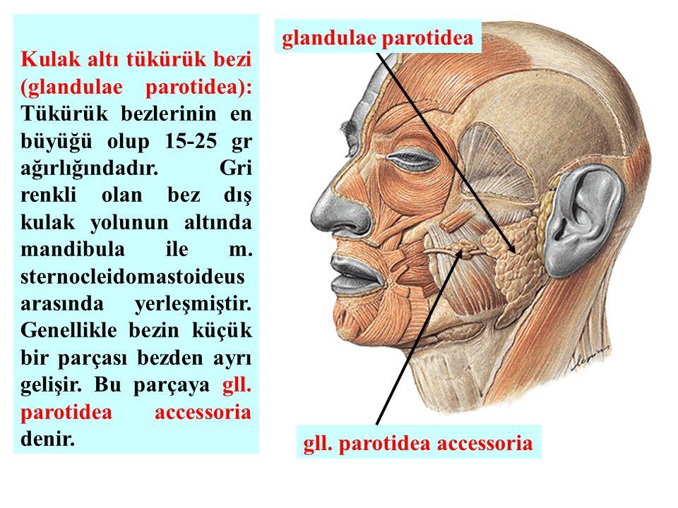 Kulak altı tükürük bezi (glandulae parotidea): Tükürük bezlerinin en büyüğü olup 15-25 gr ağırlığındadır. Gri renkli olan bez dış kulak yolunun altınd