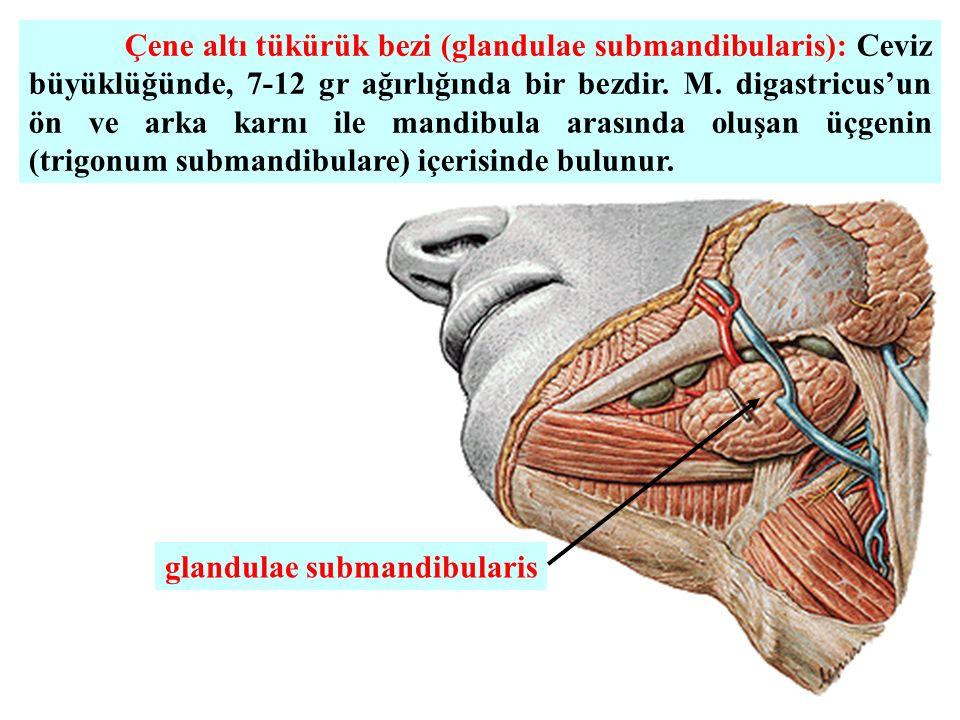 Çene altı tükürük bezi (glandulae submandibularis): Ceviz büyüklüğünde, 7-12 gr ağırlığında bir bezdir.