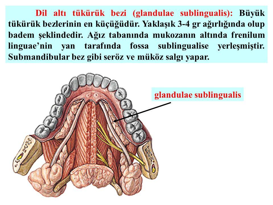 Dil altı tükürük bezi (glandulae sublingualis): Büyük tükürük bezlerinin en küçüğüdür.
