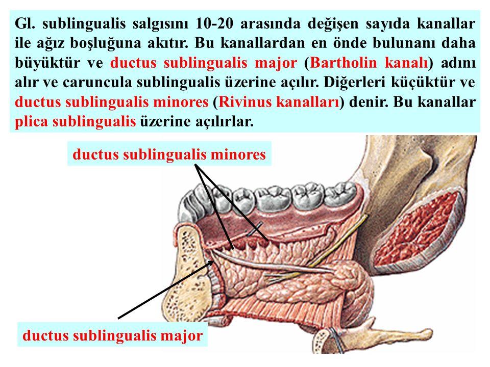 Gl. sublingualis salgısını 10-20 arasında değişen sayıda kanallar ile ağız boşluğuna akıtır. Bu kanallardan en önde bulunanı daha büyüktür ve ductus s