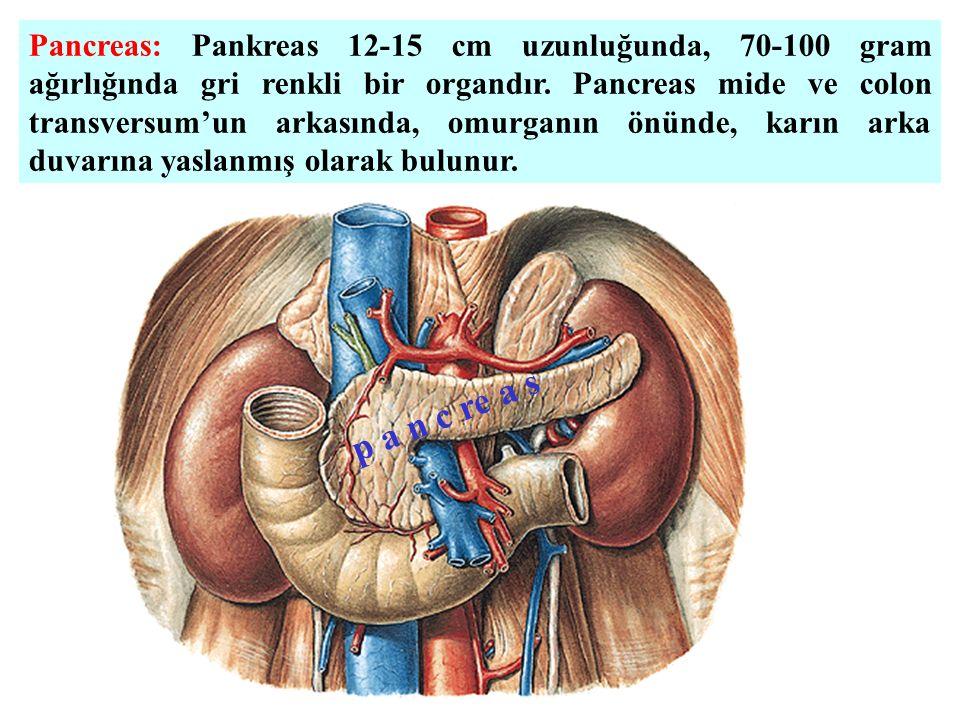 Pancreas: Pankreas 12-15 cm uzunluğunda, 70-100 gram ağırlığında gri renkli bir organdır.