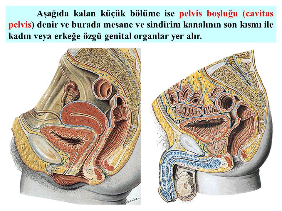 Aşağıda kalan küçük bölüme ise pelvis boşluğu (cavitas pelvis) denir ve burada mesane ve sindirim kanalının son kısmı ile kadın veya erkeğe özgü genital organlar yer alır.