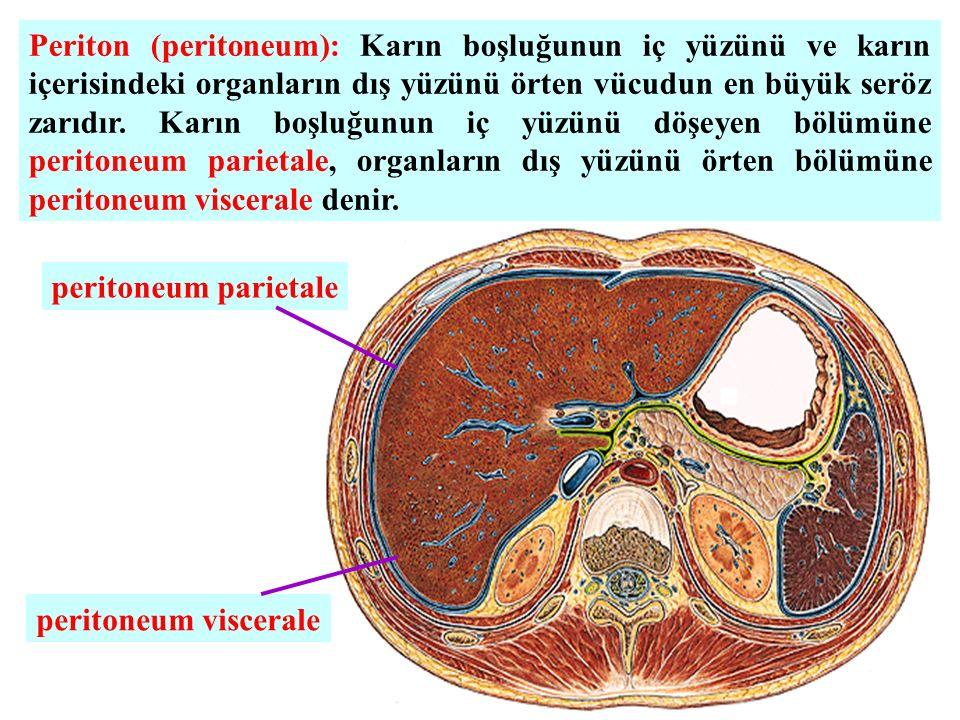 Periton (peritoneum): Karın boşluğunun iç yüzünü ve karın içerisindeki organların dış yüzünü örten vücudun en büyük seröz zarıdır.